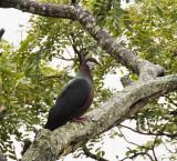 Metallic Pigeon, Parc National Grandes Fougeres, New Caledonia