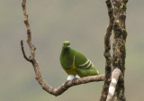 Cloven-feathered Dove,  New Caledonia