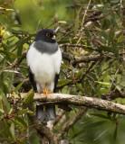 White-bellied Goshawk, New Caledonia