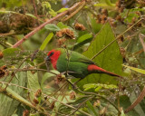 Red-throated Parrotfinch, New Caledonia
