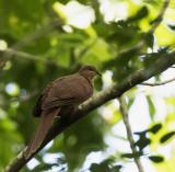 MacKinlay's Cuckoo-dove,Espiritu Santo, Vanuatu crop