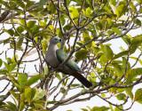Pacific Imperial Pigeon,  Vanuatu