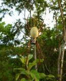Vanuatu spider