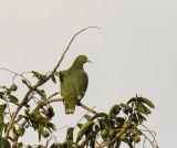 Tanna Fruit Dove, Vanuatu