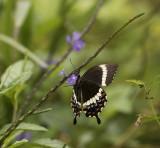 Swallowtail Butterfly,Vanuatu