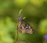Butterfly, Vanuatu