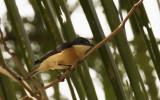 Vanikoro Flycatcher, Fiji