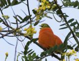 Orange Dove, Fiji