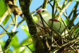 Many-colored Fruit Dove on nest, Fiji