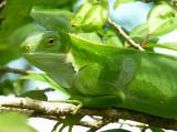 Banded Iguana, Fiji