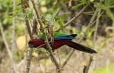 Crimson Shining Parrot, Fiji