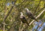 Barking Imperial Pigeon, Fiji