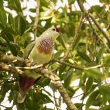 Many-colored Fruit Dove, Fiji