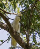 Yellow-crested Cockatoo, Komodo Island