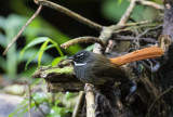 Rufous-tailed Fantail, Java
