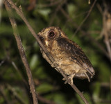 Reddish Scops-Owl, Java