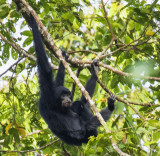 Siamang with child in lap, Sumatra
