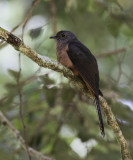 Brush (Rusty-breasted) Cuckoo, Sulawesi