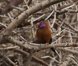 Violet-eared Waxbill_Windhoek, Namibia