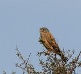 Rock Kestrel_Khomas Highland area, Namibia