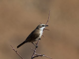 Herero Chat_Khomas Highland area, Namibia