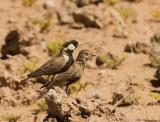 Grey-backed Sparrow-Lark_Khomas highland area, Namibia