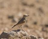 Spike-heeled Lark_Khomas Highland Area, Namibia