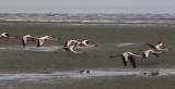 Lesser Flamingo_Walvis Bay, Namibia