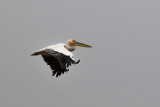 Great White Pelican_Walvis Bay, Namibia
