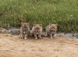 Black-backed Jackal pups_Walvis Bay, Namibia