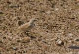 Gray's Lark_Walvis Bay area, Namibia