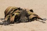 Welwitschia mirabilis_Welwitschia plaines, Namibia