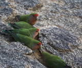 Rosy-faced Lovebird_Erongo Wilderness Lodge, Namibia