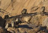 Rock Hyrax_Erongo Wilderness Lodge, Namibia