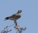 Pale Chanting Goshawk_Erongo area, Namibia