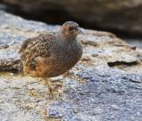 Hartlaub's Spurfowl female_Erongo area, Namibia