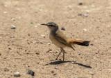 Kalahari Scrub Robin_Orongo area, Namibia