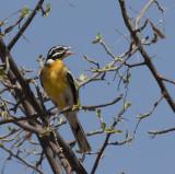 Golden-breasted Bunting_Orongo area, Namibia