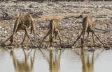 Giraffe_Etosha NP, Namibia