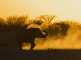 African Elephant_Etosha NP, Namibia