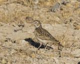 Sabota Lark_Etosha NP, Namibia