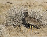 White-quilled Bustard (AKA Southern Black Korhaan_Etosha area, Namibia