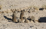 South African Ground Squirrel_Etosha NP, Namibia