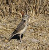 Clapper Lark_Etosha NP, Namibia