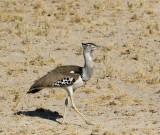 Kori Bustard_Etosha NP, Namibia