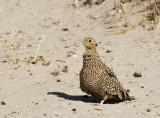 Namaqua Sandgrouse, female_Etosha NP, Namibia