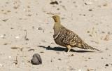 Burchell's Sandgrouse_Etosha NP, Namibia