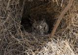 Spotted Eagle-Owl_Etosha NP, Namibia