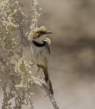 Rufous-eared Warbler_Etosha NP, Namibia