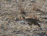 Red-crested Korhaan, female_Etosha NP, Namibia